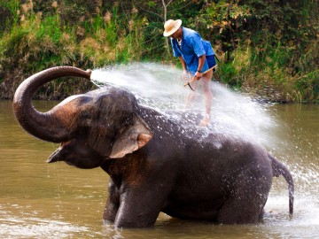 Big elephant bathing in the river and spraying himself with water, guided by their handler